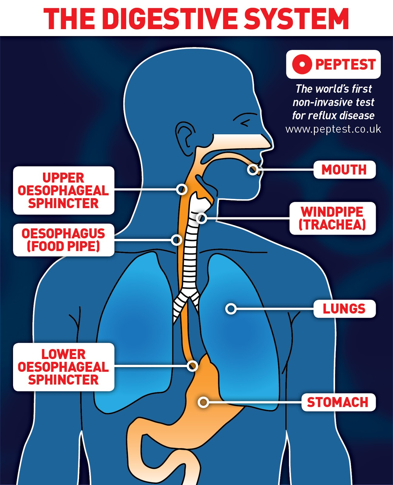 The digestive system and reflux